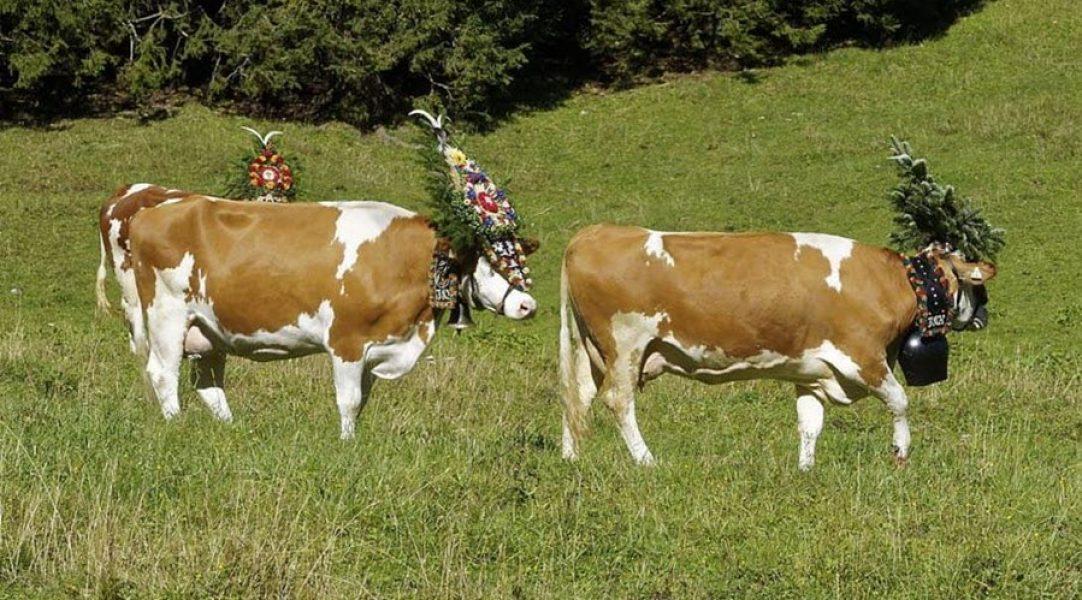 tirol-vacas